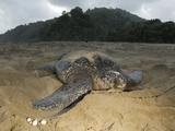 Leatherback Turtle, Dermochelys Coriacea, Nesting after Sunrise Photographic Print by Mauricio Handler