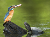 Adult Female Common Kingfisher with a Common Rudd and a Pond Turtle Papier Photo par Joe Petersburger