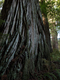 A Giant Redwood Tree in a Secret Location Called the Grove of Titans Photographic Print by National Geographic Photographer