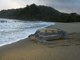 A Leatherback Turtle Returns to the Water after Nesting Photographic Print by Mauricio Handler