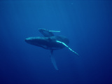Humpback Whale (Megaptera Novaeangliae) Mother and Calf, Underwater, Hawaii Photographic Print by Flip Nicklin/Minden Pictures