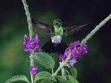 Snowy-Bellied Hummingbird (Amazilia Edward) and Porterweed (Stachytarpheta Sp.) Flowers, Costa Rica Photographic Print by Michael and Patricia Fogden/Minden Pictures