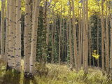 Grove of American Aspen Trees at Sunset in Autumn Photographic Print by  Greg