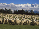 Domestic Sheep (Ovis Aries) in the Southern Alps, Rakaia River Valley, Canterbury, New Zealand Photographic Print by Colin Monteath/Minden Pictures