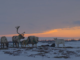 Reindeer Graze on Lichens in the Tundra Near Patches of Taiga Forest Photographic Print by Gordon Wiltsie