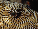 A Close View of the Eye of a Map Puffer Fish Photographic Print by Tim Laman