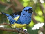 Portrait of a Captive Violaceous Euphonias Finch, Euphonia Voilacea Photographic Print by Paul Sutherland