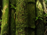 Close Up of Bamboo Growing in a Rainforest Photographic Print by Raul Touzon