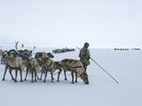 Caravan Leader of the Komi Reindeer Herders Looks for the Best Route Photographic Print by Gordon Wiltsie