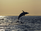 Dusky Dolphin (Lagenorhynchus Obscurus) Somersaulting at Sunrise, New Zealand Photographic Print by Hiroya Minakuchi/Minden Pictures