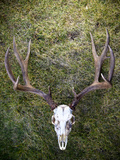 A Mule Deer Skull from Wyoming Photographic Print by Drew Rush