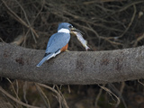 Ringed Kingfisher, Ceryle Torquata, in a Tree, Eating a Fish Photographic Print by Roy Toft