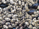 Barnacles and Mussels on Combers Beach in Pacific Rim National Park Photographic Print by Rich Reid