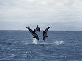 Dusky Dolphin (Lagenorhynchus Obscurus), New Zealand Photographic Print by Hiroya Minakuchi/Minden Pictures