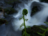 A Furled Fern Frond at the Edge of Trillium Falls Photographic Print by National Geographic Photographer