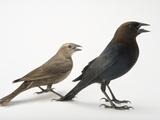 Male and Female Brown-Headed Cowbirds, Molothrus Ater Photographic Print by Joel Sartore