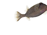 A Whitespotted Boxfish Collected from a Sample of Coral Reef Fotografisk tryk af David Liittschwager