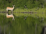 A White-Tailed Deer and Reflection by the Shoreline Photographic Print by Roy Toft