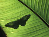 Butterfly Shadow on Banana Leaf, Venezuela Photographic Print by Albert Lleal/Minden Pictures
