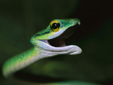 Parrot Snake (Leptophis Ahaetulla) with Open Mouth, Barro Colorado Island, Panama Photographic Print by Christian Ziegler/Minden Pictures