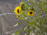 Sunflowers on the Road Between Leh to Kargil Photographic Print by Steve Winter
