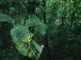 Red-Eyed Tree Frog (Agalychnis Callidryas) in the Mid Canopy, Soberania National Park, Panama Photographic Print by Christian Ziegler/Minden Pictures