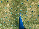 Portrait of a Male Peacock Displaying His Impressive Tail Photographic Print by Beverly Joubert