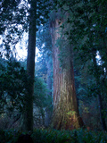 An over 300 Foot Giant Redwood Tree Photographic Print by Michael Nichols