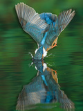 An Adult Male Common Kingfisher, Alcedo Atthis, Dives into the Water Papier Photo par Joe Petersburger