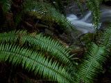 Fern Fronds at the Edge of Trillium Falls Photographic Print by National Geographic Photographer