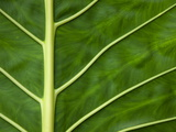 Detail of a Taro Leaf (Colocasia Antiquorum) Photographic Print by Pete Ryan