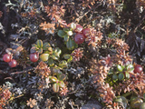 Tiny Lingonberry Bushes Grow Amongst Other Plants in the Tundra Photographic Print by Gordon Wiltsie