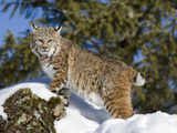 Bobcat (Lynx Rufus) in the Snow, Kalispell, Montana Photographic Print by Matthias Breiter/Minden Pictures
