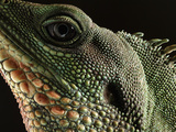 Water Dragon (Physignathus Cocincinus) Face, Native to Southeast Asia Photographic Print by Albert Lleal/Minden Pictures