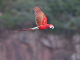 Green-Winged Macaw, Ara Chloropterus, in Flight Photographic Print by Roy Toft