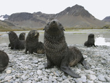 Antarctic Fur Seal (Arctocephalus Gazella) Group of Pups on Rocky Beach, South Georgia Island Photographic Print by Hiroya Minakuchi/Minden Pictures
