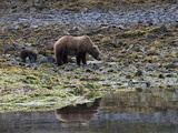 An Alaskan Brown Bear, Ursus Arctos, Foraging with Her Cub Photographic Print by Roy Toft