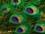 Close Up of a Bunch of Peacock Tail Feathers Photographic Print by Beverly Joubert