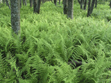 Forest of Ferns Grows in Virginia National Forest Photographic Print by  Greg