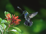 Blue-Chested Hummingbird (Amazilia Amabilis) and Flowers (Hamelia Sp), Rainforests of Costa Rica Photographic Print by Michael and Patricia Fogden/Minden Pictures