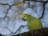 Blue-Fronted Amazon Parrot, Amazona Aestiva, Perched in a Tree Photographic Print by Roy Toft