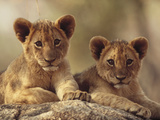 African Lion (Panthera Leo) Cubs Resting on a Rock, Hwange National Park, Zimbabwe, Africa Fotografisk tryk af Tim Fitzharris/Minden Pictures