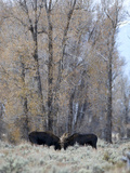 Two Bull Moose Fighting over Cows in Grand Teton National Park Photographic Print by Drew Rush