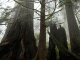 Coastal Fog Envelopes the Lady Bird Johnson Grove Photographic Print by National Geographic Photographer