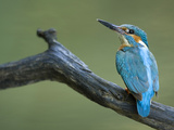 An Adult Male Common Kingfisher, Alcedo Atthis, on a Branch Papier Photo par Joe Petersburger