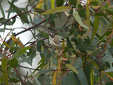 An Alert Striated Pardalote Hanging onto a Eucalyptus Branch Photographie par Brooke Whatnall
