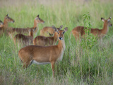 Group of Impala Ewes in the Tall Grass, Zambia Photographic Print by Roy Toft