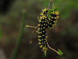 A Caterpillar Hanging on a Twig Photographic Print by Raul Touzon