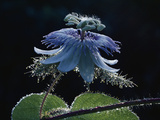 Blue Passionvine (Passiflora Foetida) Protective, Sticky Droplets, Costa Rica Photographic Print by Michael and Patricia Fogden/Minden Pictures