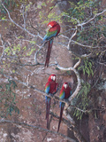 Three Green-Winged Macaws Perched in a Tree Photographic Print by Roy Toft
